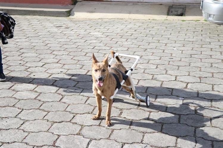 """""""Body"""" se moviliza en una """"silla de ruedas"""" después de que fue atropellada. (Foto Prensa Libre: María José Longo)"""