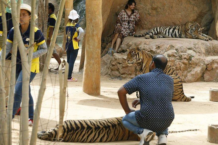Un hombre posa junto a un tigre en su recinto en el Templo de los Tigres. Según activistas, los felinos eran sedados para que turistas pudieran fotografiarse con ellos. (Foto Prensa Libre: EFE).