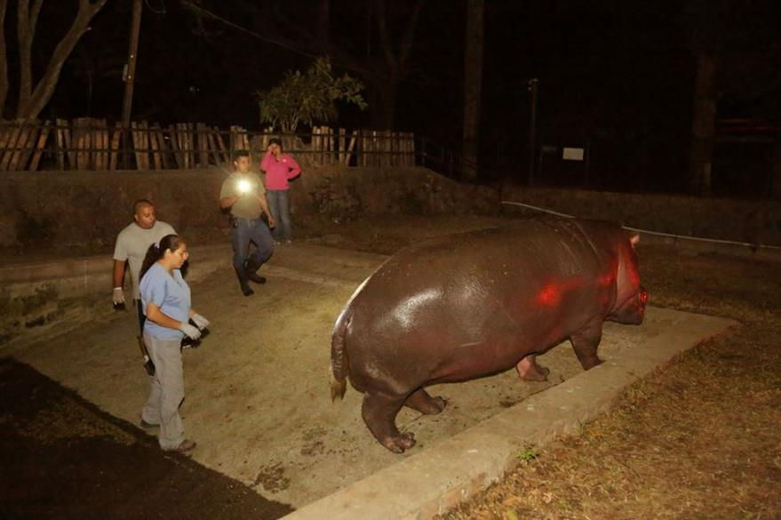 """""""Gustavito"""" el hipopótamo que fue brutalmente golpeado. (Foto: Secretaría de Cultura de la Presidencia de El Salvador)."""
