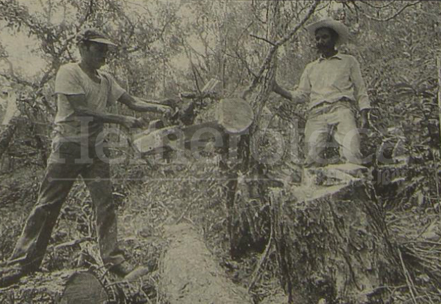 Dos leñadores cortan uno de los árboles que fue atacado por el gorgojo, en lo alto de una montaña de El Progreso en 1994.  (Foto: Hemeroteca PL)