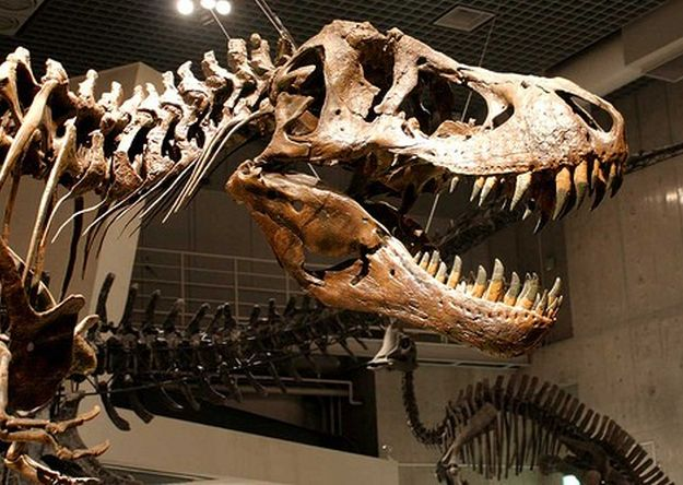 El cráneo de un Tiranosaurio Bataa tenía bajo su poder el actor Nicolas Cage. (Foto Prensa Libre: Hemeroteca PL)