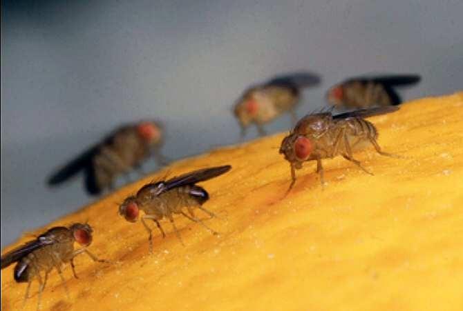 La mosca de la fruta su esperma es más de mil cien veces más largo que el del humano.