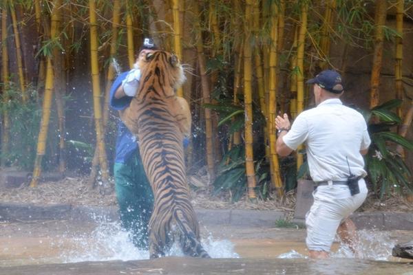 <p>El domador de tigres David Styles sufrió mordidas en distintas partes del cuerpo. (Foto Prensa Libre: AP).</p>