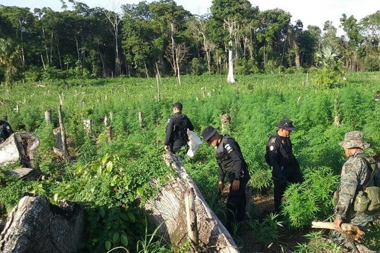 Autoridades recorren las plantaciones de marihuana que fueron erradicadas en Las Cruces, Petén. (Foto Prensa Libre: Rigoberto Escobar)