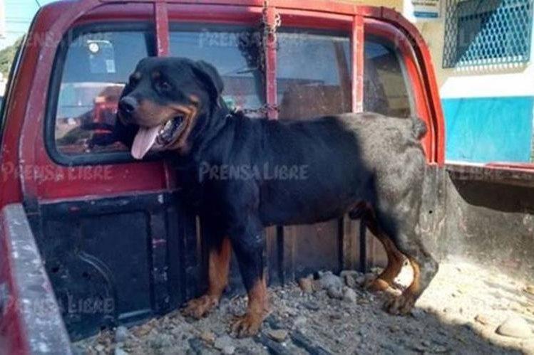 Nena Muerta Por Rot Wailer: Suspenden Ejecución De Perro Que Habría Causado Muerte
