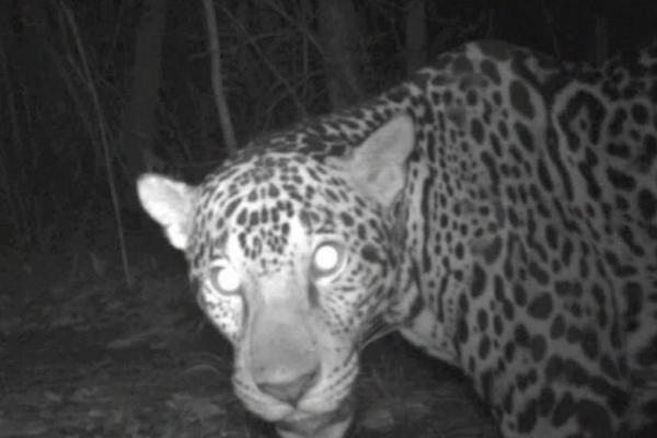 Jaguares son vistos en la Reserva de la Biósfera Maya. (Foto Prensa Libre: CONAP)